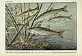 Unsere Süßwasserfische (Tafel 43) (6102605159).jpg