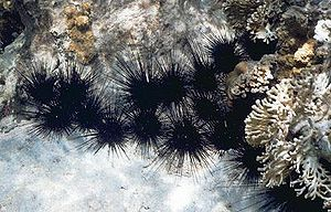 Diadema antillarium (black spiny Caribbean sea...