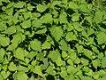 Urtica thunbergiana02.jpg