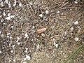 Utetheisa pulchella 2601.JPG