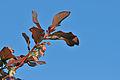 Vaccinium myrtillus - Bilberry - Maviyemiş 04.jpg