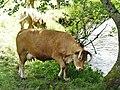 Vache Le Lonzac (1).jpg