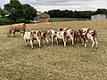 Vaches Route Dommartin St Genis Menthon 3.jpg