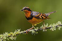 Varied Thrush - Vancouver Island (6988285323).jpg