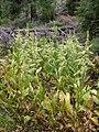 Veratrum californicum plants-7-27-04.jpg