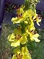 Verbascum nigrum 05.jpg