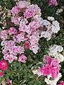 Veszprémvölgy 2016, fehér és rózsaszín.jpg