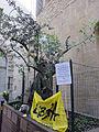 Via dei georgofili, olivo della pace nelle celebrazioni del ventennale della strage.JPG