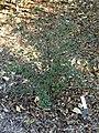 Viburnum dilatatum - J. C. Raulston Arboretum - DSC06255.JPG