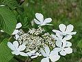 Viburnum furcatum1.jpg