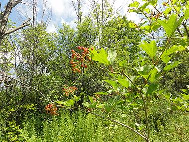 Viburnum opulus SCA-02406.jpg