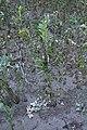 Vicia faba plant (06).jpg