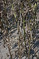 Vicia faba plant (08).jpg