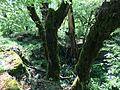 Vikos Gorge Forest Kapesovo Route.jpg