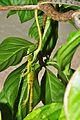 Vine snake eating iguana (9353249630).jpg