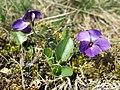 Viola ambigua sl24.jpg