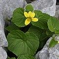 Viola biflora RF.jpg