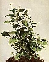 Viola canadensis var. canadensis WFNY-141.jpg