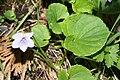 Viola palustris 6805.JPG