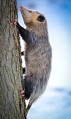 Virginia Opossum (Didelphis virginiana) (16747337145).jpg