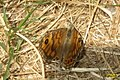 Wall brown (NHkl) (24895327096).jpg