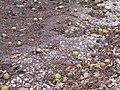 Walnuts 19-10-16 429.jpg