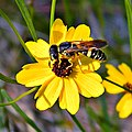 Wasp on Coreopsis (5859236349).jpg