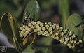Wasps on sea grape flowers. Little San Salvadore, April (24004965867).jpg