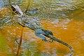 Water Monitor (Varanus salvator) juvenile (23847906245).jpg