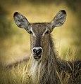 Waterbuck Africa.jpg