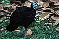 Wattled Brush-turkey (Aepypodius arfakianus) (7937162662) (cropped).jpg