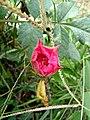 Wayanadan-random-flowers IMG 20180524 154037 HDR (41654548184).jpg