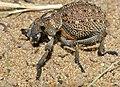 Weevil (Brachycerus sp.) (11966353445).jpg
