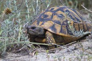 Kleiner Kühlschrank Für Schildkröten : Griechische landschildkröte u2013 wikipedia
