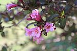 Weigela florida flowers.jpg
