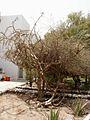 Weihrauch-Baum.jpg