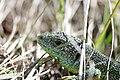 Western Green Lizard - Lacerta bilineata (16378749454).jpg