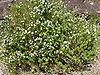 Westringia fruticosa 01.jpg
