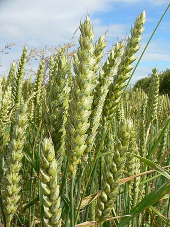 Wheat is a major crop in the UK.