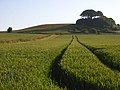 Wheat below Woodborough Hill - geograph.org.uk - 844130.jpg