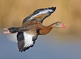 Whistling duck flight02 - natures pics-edit1.jpg