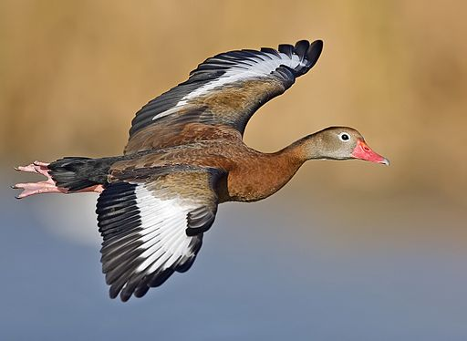 Whistling duck flight02 - natures pics-edit1