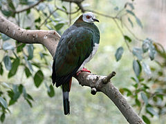 White-bellied Imperial Pigeon SMTC.jpg