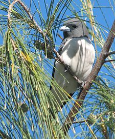 White-breastedWoodswallow.jpg