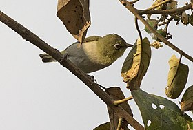 White-breasted White-eye ( Zosterops abyssinicus) (17737048951) (cropped).jpg