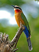 White-fronted Bee-eater (Merops bullockoides) (17273086921).jpg