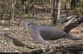 White-tipped Dove From The Crossley ID Guide Eastern Birds.jpg