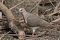 White-tipped Dove National Butterfly Center Mission TX 2018-02-28 15-39-25 (38852766090).jpg
