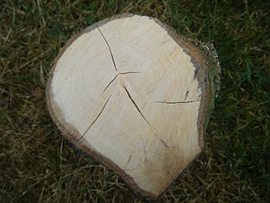 Whitebeam - Cross-section of a whitebeam trunk