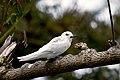 White Tern (Gygis alba) (37720363552).jpg